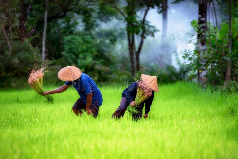 Coppia l'agricoltore che lavora insieme al giacimento verde del riso fotografie stock