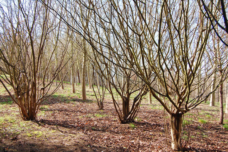 Coppice trees royalty free stock photography