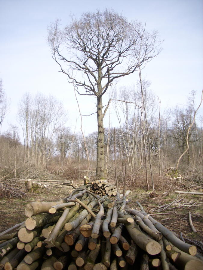 Coppice woodland with logs. Stacked as cord wood in foreground and single standard tree in the centre of a felled area with cut branches stock photos