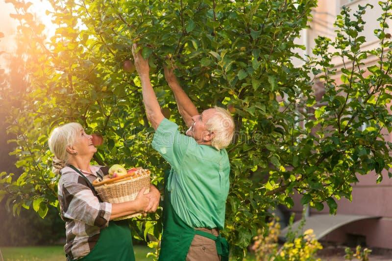 Coppie con le mele di raccolto del canestro fotografia stock libera da diritti