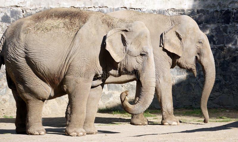 Coppie degli elefanti adulti fotografia stock