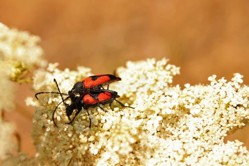 Coppie degli insetti immagine stock