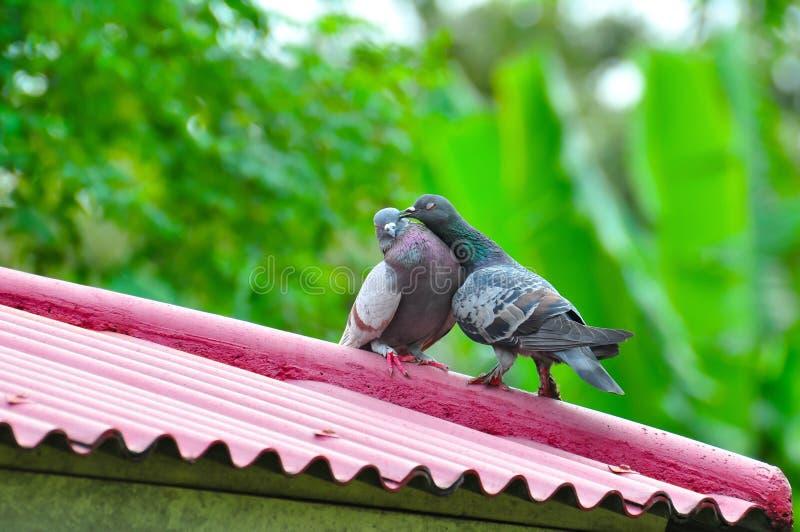 Coppie degli uccelli degli animali la colomba adorabile fotografie stock libere da diritti