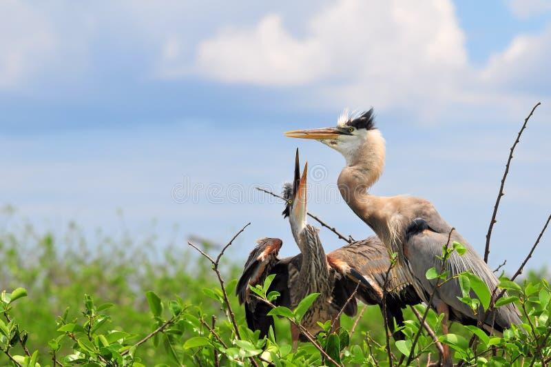 Coppie degli uccelli dell'airone di grande azzurro fotografie stock