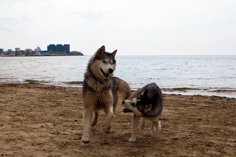 Coppie dei cani del husky che giocano sulla spiaggia fotografia stock libera da diritti