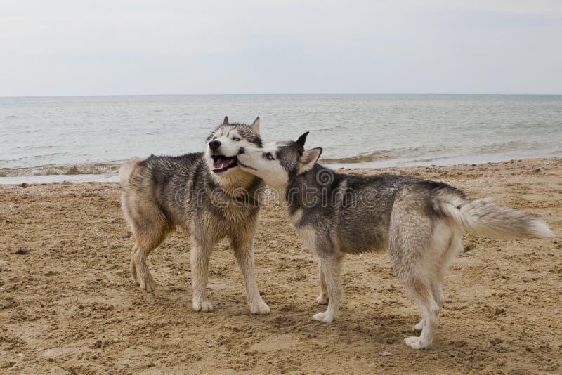 Coppie dei cani del husky che giocano sulla spiaggia immagini stock libere da diritti