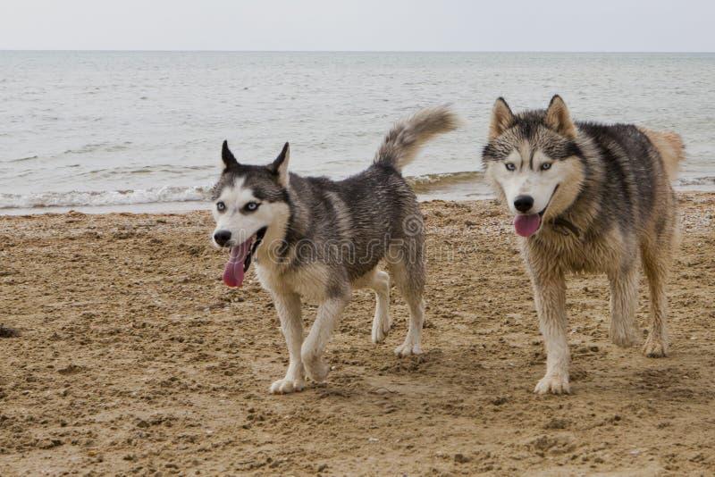 Coppie dei cani del husky che giocano sulla spiaggia fotografie stock