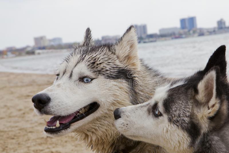 Coppie dei cani del husky che giocano sulla spiaggia immagini stock
