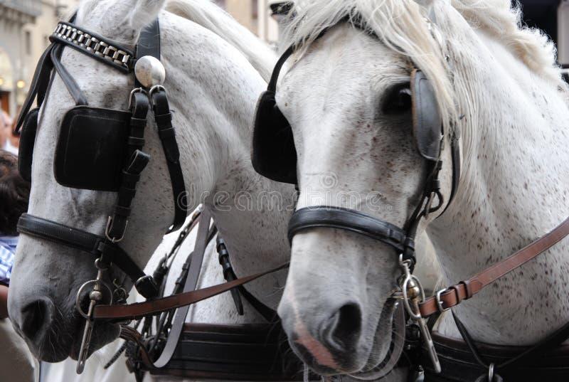 Coppie dei cavalli bianchi con i paraocchi fotografie stock libere da diritti