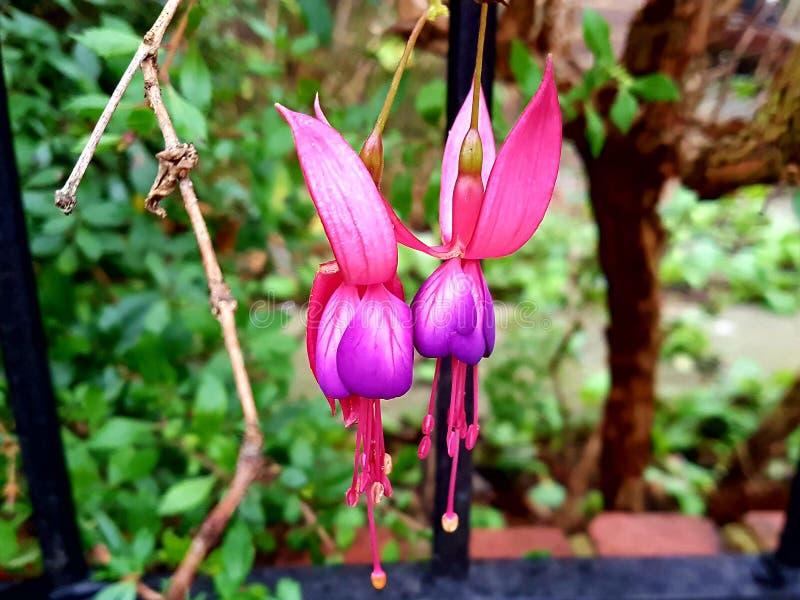 Coppie dei fiori di Fuschia fotografie stock
