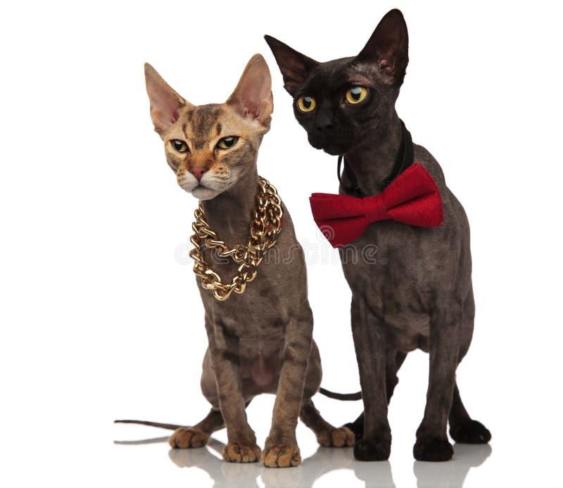 Coppie dei gatti eleganti che si siedono e che guardano al lato immagine stock