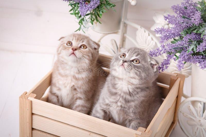 Coppie dei gatti svegli in una scatola di legno Fiori della lavanda nei precedenti fotografia stock