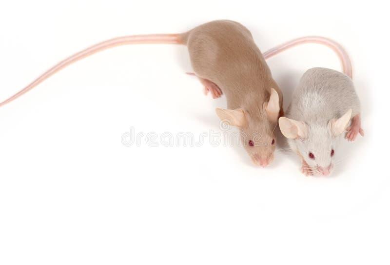 Coppie dei mouse immagini stock