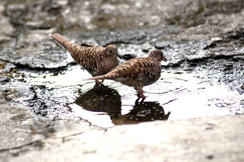 Coppie dei piccioni fotografia stock libera da diritti