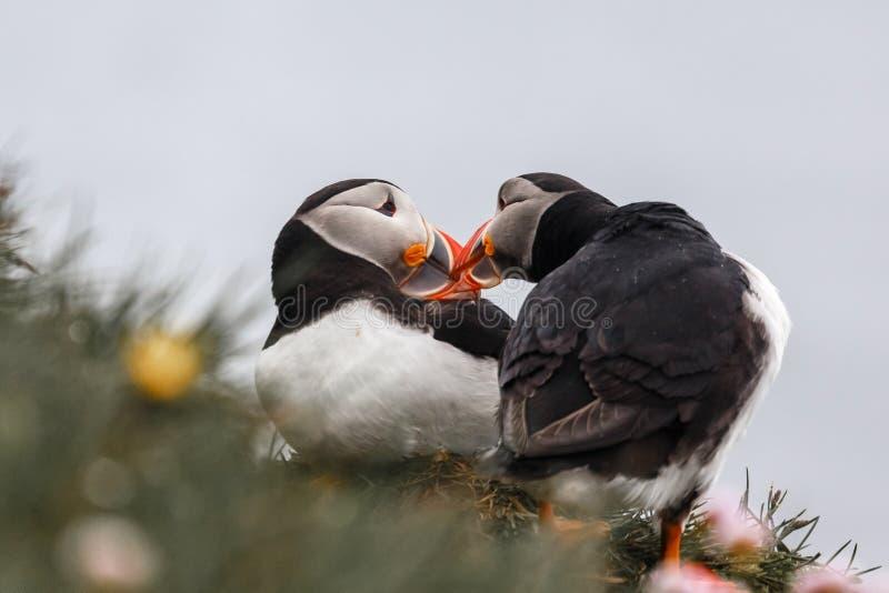 Coppie dei puffini islandesi che baciano, scogliere di Latrabjarg, Westfjords, Islanda immagini stock libere da diritti