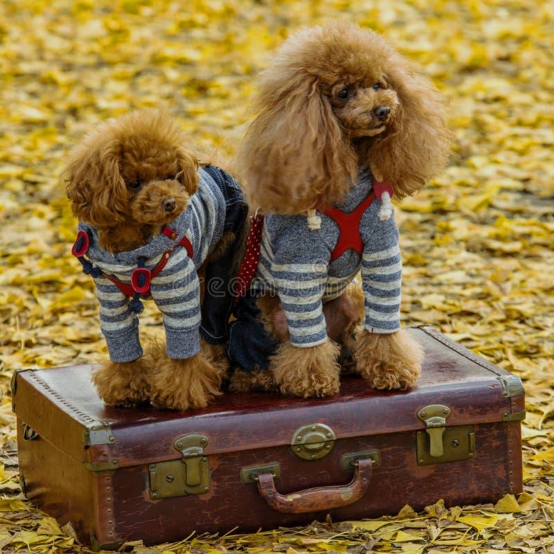 Coppie del cane fotografia stock