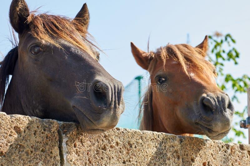 Coppie del cavallo immagine stock