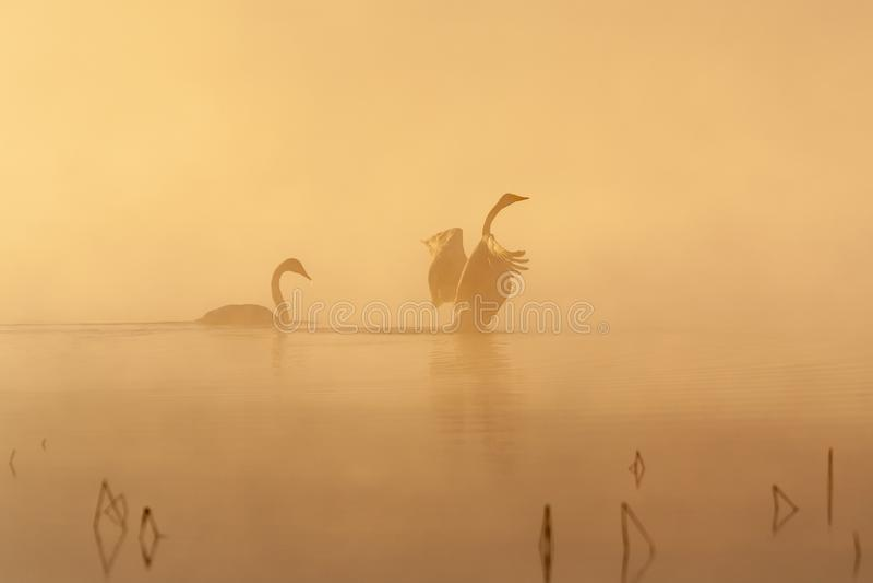 Coppie del cigno selvatico nella foschia di primo mattino fotografia stock