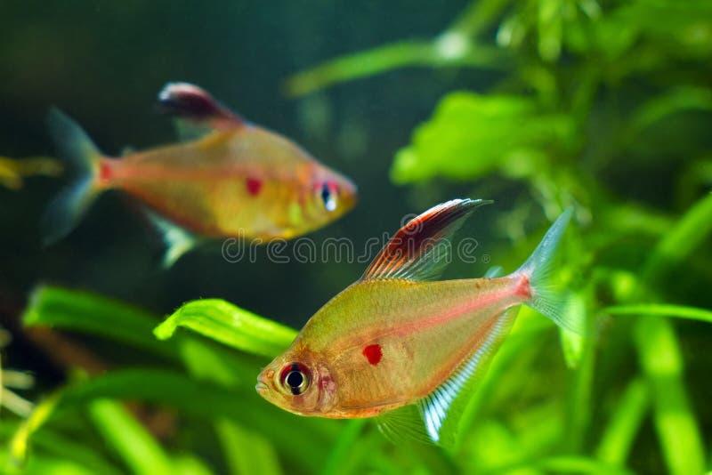 Coppie del cuore di emorragia tetra, socolofi di Hyphessobrycon, pesce ornamentale popolare dell'acque nere da Rio Negro immagine stock
