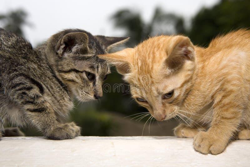 Coppie del gatto fotografie stock libere da diritti