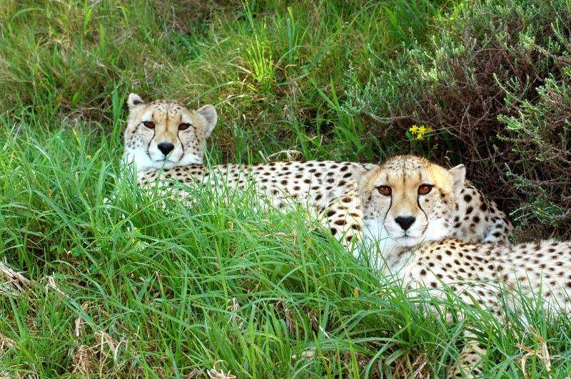 Coppie del ghepardo immagini stock libere da diritti