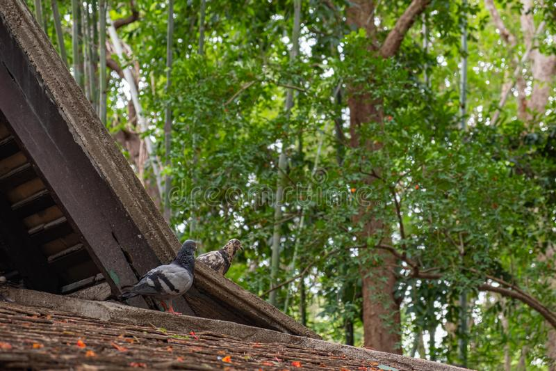 Coppie del piccione sul tetto della casa immagine stock libera da diritti