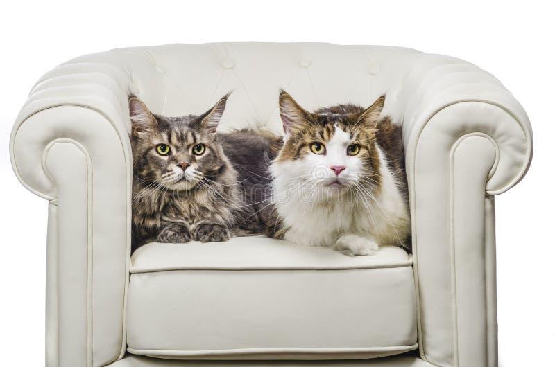 Coppie della disposizione dei posti a sedere del gatto di Maine Coon sul sofà bianco fotografia stock