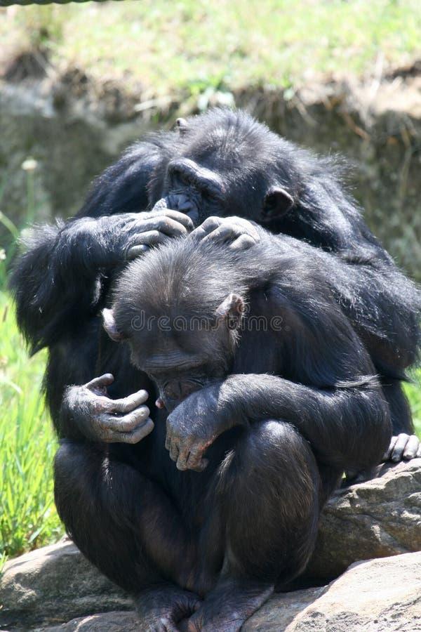Coppie della scimmia immagini stock libere da diritti