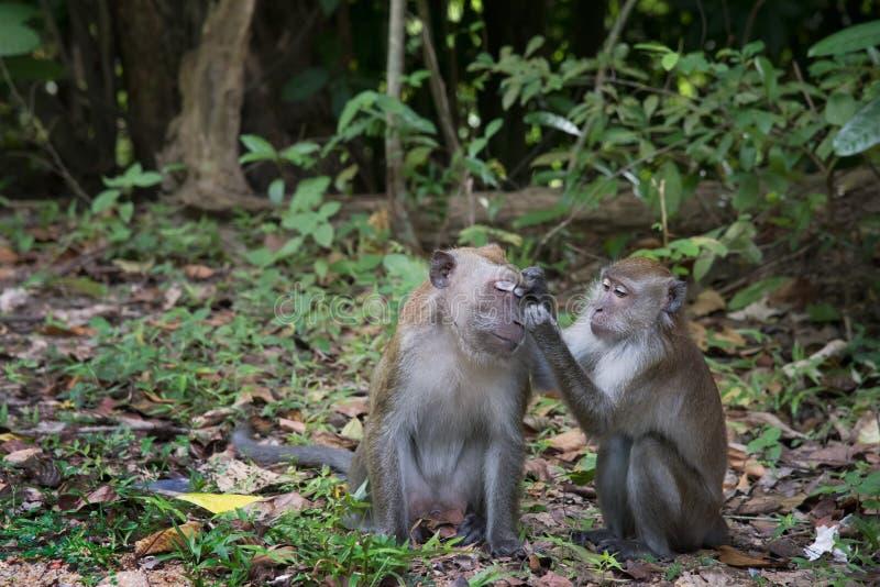 Coppie della scimmia di macaco che prendono cura a vicenda nel selvaggio intrapreso l'isola di Langkawi, la Malesia fotografia stock libera da diritti