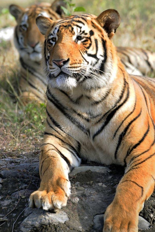 Coppie della tigre fotografie stock libere da diritti