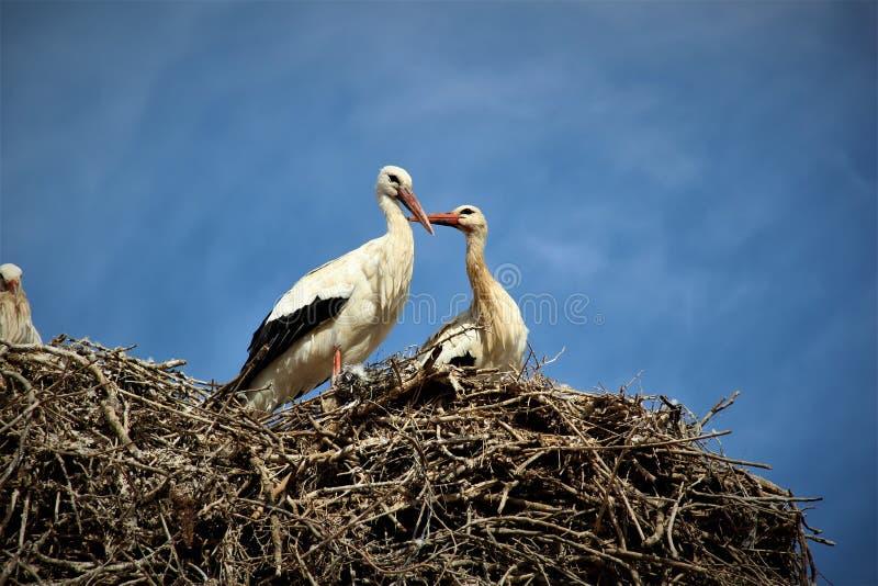 Coppie delle cicogne nell'amore fotografie stock
