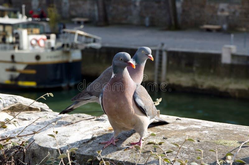 Coppie delle colombe su un molo della Senna, Parigi fotografie stock libere da diritti