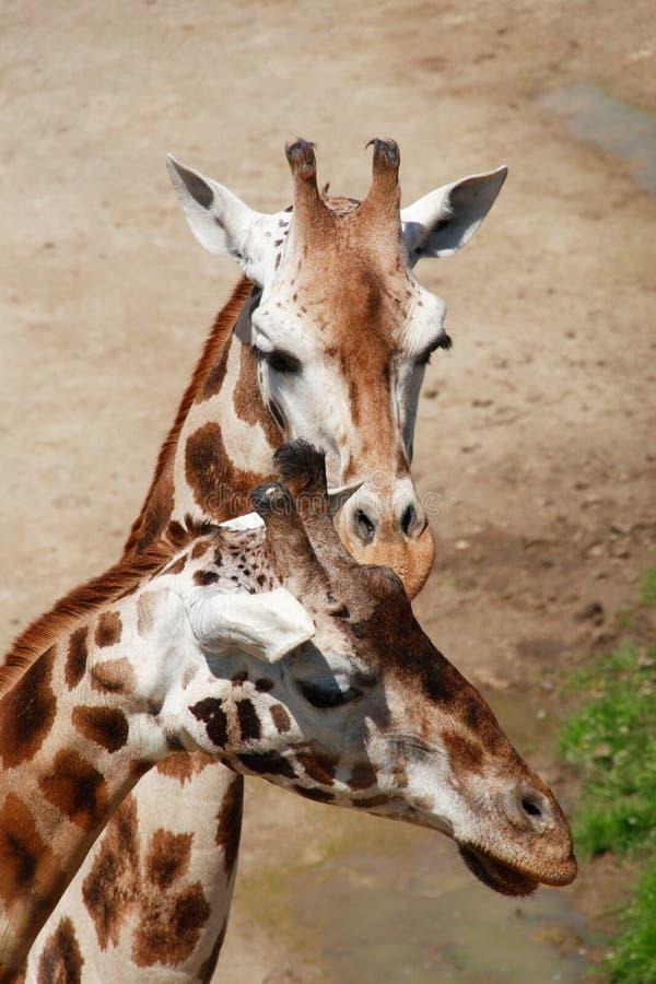 Coppie delle giraffe fotografie stock libere da diritti
