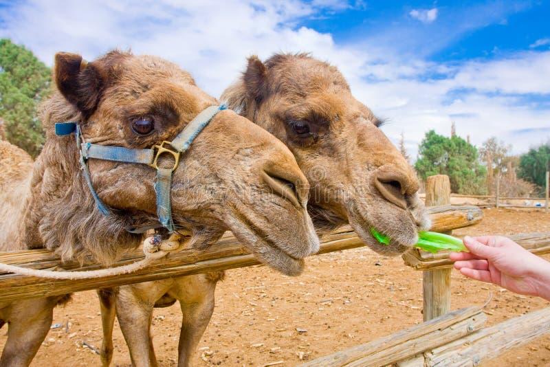 Coppie di alimentazione dei cammelli fotografia stock libera da diritti