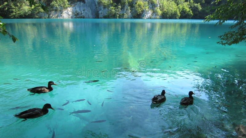 Coppie di nuoto in Plitvice Croazia immagini stock libere da diritti