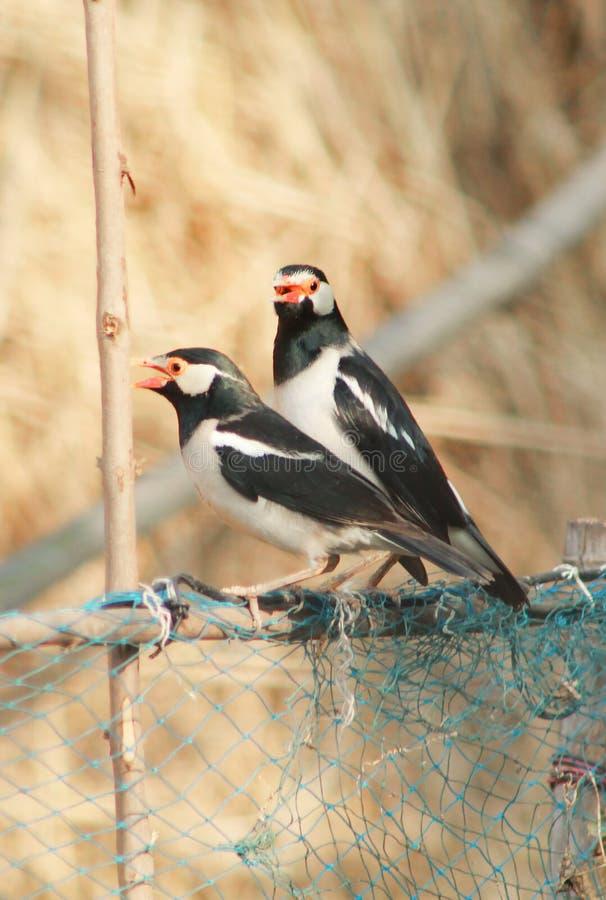 Coppie di piccola seduta dell'uccello immagini stock