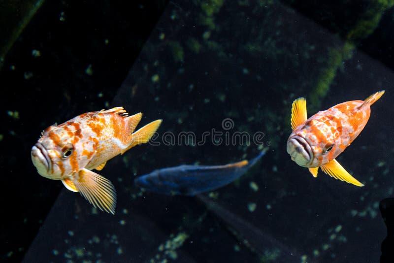 Coppie di scorpena color giallo canarino - peschi dalla regione di nordest di oceano Pacifico fotografia stock libera da diritti