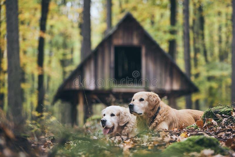 Coppie di vecchi cani fotografie stock libere da diritti