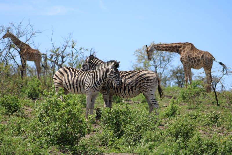 Coppie e giraffa della zebra fotografia stock libera da diritti