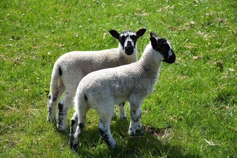 Coppie gli agnelli chiazzati su un'azienda agricola in North Yorkshire Inghilterra immagini stock