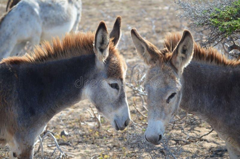Coppie gli asini selvaggi insieme in Aruba fotografie stock
