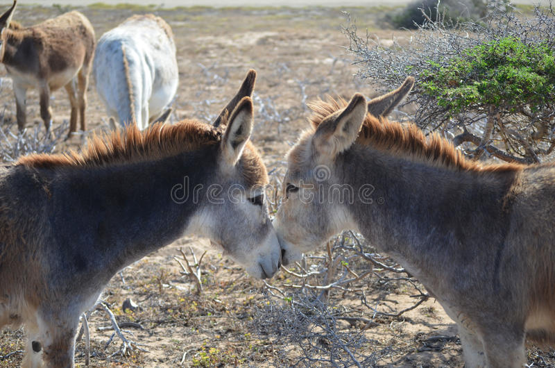 Coppie gli asini stringenti a sé in Aruba immagini stock