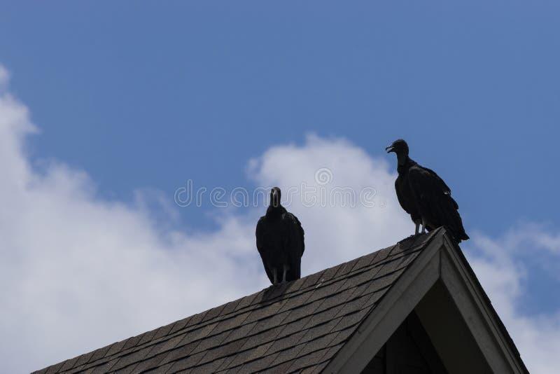 Coppie gli avvoltoi neri appollaiati su un tetto immagini stock