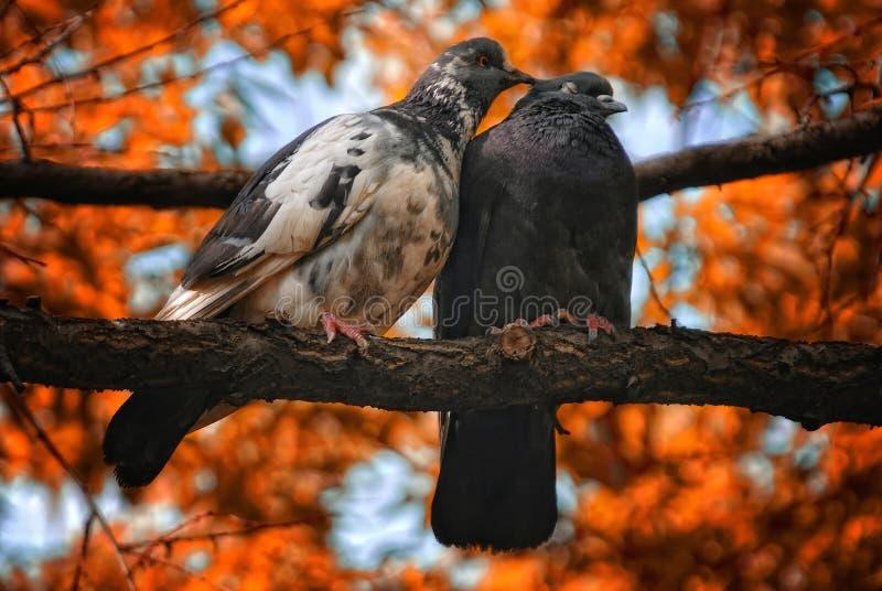 Coppie gli uccelli dei piccioni nell'amore fotografia stock libera da diritti