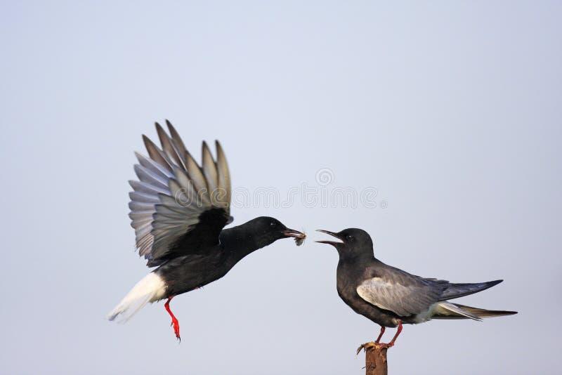 Coppie gli uccelli del mignattino alibianche che si alimentano durante il Ne della molla fotografie stock libere da diritti