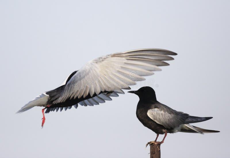 Coppie gli uccelli del mignattino alibianche che si alimentano durante il Ne della molla fotografie stock