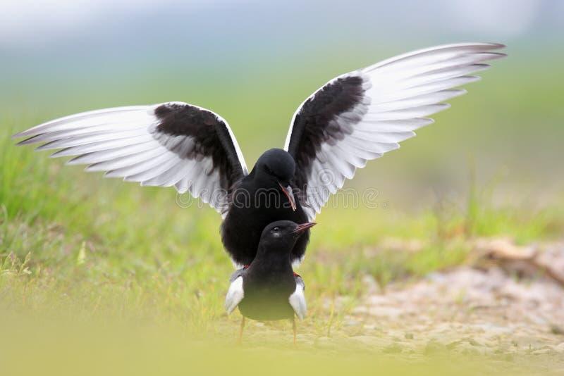Coppie gli uccelli del mignattino alibianche sulle zone umide erbose durante immagine stock
