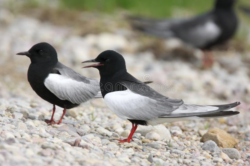 Coppie gli uccelli del mignattino alibianche sulle zone umide erbose durante fotografia stock