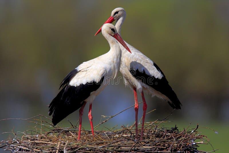 Coppie gli uccelli della cicogna bianca su un nido fotografia stock libera da diritti