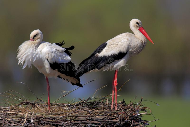 Coppie gli uccelli della cicogna bianca su un nido immagine stock libera da diritti